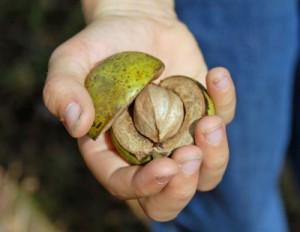 shagbark-hickory-nut